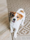 Adorable Puppy Jack Russell Terrier On The Capet At Home. Portrait Of A Little Dog. poster