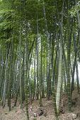 Bamboo Grove In Autumn Of Kodaiji Temple Gardens In Kyoto poster