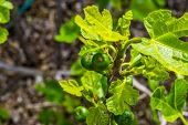 Closeup Of A Small Fig Tree With Unripe Figs, Popular Tropical Fruiting Plant Specie From Asia poster