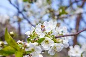 Honeybee On White Flower Of Apple Tree Collecting Pollen And Nectar To Make Sweet Honey With Medicin poster