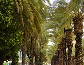 Slender Rows Of Large Palm Trees. Palm Grove, Israel Palms poster