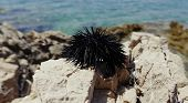 Black Sea Urchin On A Rocks By The Adriatic Sea At Sunny Day In Croatia, Close Up Of Sea Urchin Spin poster
