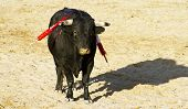 picture of animal cruelty  - Spanish bull - JPG