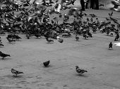 stock photo of pest control  - flock of pigeons in a street - JPG