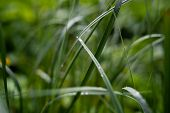 Fresh Green Grass With Dew Drops Close Up. Water Drops On The Fresh Grass After Rain. Light Morning  poster