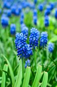 Spring Flowers Muscari - Flower Natural Spring Background With Blooming Spring Flowers Of Muscari. C poster