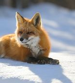 Red Fox Lies In The Snow Predator poster