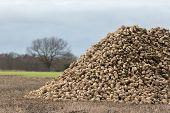 Sugar Beet Pile. Organic Crop Harvest From Norfolk Uk. Sugar Beet Piled In Newly Harvested Field. Wi poster