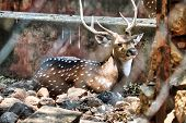 The Chital Also Know As Spotted Deer Only Found In Indian Subcontinent Has Spot Patterns On Its Fur  poster