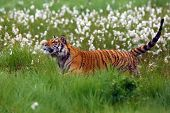 The Siberian Tiger (panthera Tigris Tigris),also Called Amur Tiger (panthera Tigris Altaica) On A Me poster