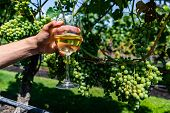Man Hand Holding A Glass Of White Wine Against Unripe Fresh Green Grapes, Grapevine Fruits Backgroun poster