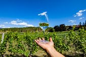 A Glass Of Clear White Wine On The Hand Against Beautiful View Of Okanagan Valley Grapevines Vineyar poster