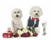 Young Bichon Frise And Valentine Day In Front Of White Background poster
