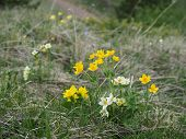 Beautiful Flowers In The Mountains Landscape Close Up. Focused Wild Alpine Flowers Close-up On The B poster