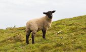 foto of suffolk sheep  - Sheep with black face and legs on hillside - JPG