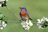 image of bluebird  - Male Eastern Bluebird (Sialia sialis) in an apple tree with flowers