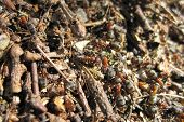 stock photo of fire ant  - ant colony as nice natural insect background - JPG
