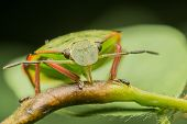 pic of minstrel  - Macro Photo Of A Green Shield Bug Sucking Sap From A Plant - JPG
