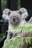 pic of koala  - Koala bear  - JPG