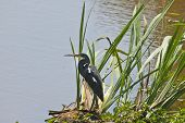 stock photo of cattail  - A Great Blue Heron  - JPG