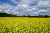 stock photo of oleifera  - Blooming rapeseed field and blue skies with some clouds - JPG