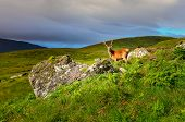 picture of cervus elaphus  - Young deer in the meadow at Scottish highlands Scotland United Kingdom - JPG