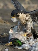 stock photo of falcons  - A Peregrine Falcon with a Mallard Duck