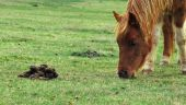 pic of feces  - Horse pony eating grass right next to some feces - JPG