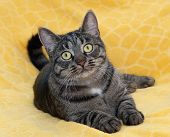 pic of yellow tabby  - Striped cat lying with sad kind on yellow background - JPG