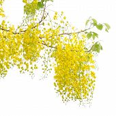 stock photo of vishu  - Cassia fistula flower isolated on white background - JPG