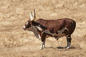 foto of cattle breeding  - Large bull Ankole Watusi a breed of Africa cattle cow breed stands in a dry grass field - JPG