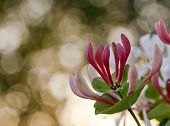 foto of honeysuckle  - Close up on a red and green Caprifoliaceae - JPG
