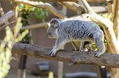 image of herbivores  - The Phascolarctos cinereus is an arboreal herbivorous marsupial native to Australia - JPG