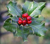 picture of aquifolium  - Ilex aquifolium  - JPG