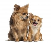 picture of chihuahua  - Chihuahua sitting and looking to a happy chihuahua - JPG