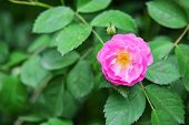 picture of wild-brier  - The beautiful wild rose flower in garden - JPG