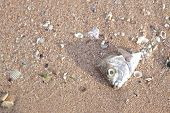 picture of gruesome  - Carcasses of dead fish on the beach - JPG