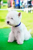 image of west highland white terrier  - west highland white terrier on an exhibition outdoors - JPG