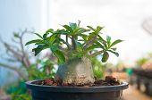 pic of desert-rose  - Adenium obesum tree or Desert rose in flowerpot  - JPG
