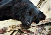 foto of lonely  - Lonely black dog with sad eyes is laying and waiting someone on outdoors - JPG