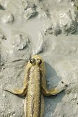 picture of mud  - A giant mud skipper resting in the mud - JPG