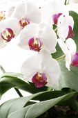 pic of horticulture  - The Moth Orchid  - JPG