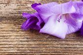 pic of gladiolus  - fresh blue gladiolus flower close up on wooden background - JPG