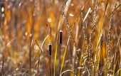 stock photo of cattail  - Cattails and reeds near water in autumn during a sunset - JPG