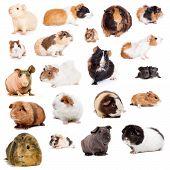 foto of guinea  - Teddy guinea pig - JPG