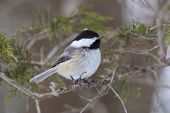 ������, ������: Black capped Chickadee Perched In A Red Cedar Tree