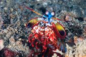 picture of biodiversity  - A Peacock Mantis Shrimp walking across a dark sand seabed - JPG