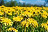 image of differential  - Close up of spring dandelion field  - JPG
