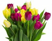 foto of purple white  - bunch of yellow and purple tulip flowers  isolated on white background - JPG