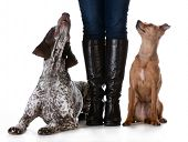 woman standing with mixed breed dog on one side and purebred dog on the other isolated on white back poster
